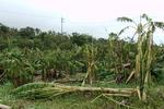 大バナナ園20120828-4.JPG