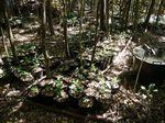 植え付けを待つコーヒー苗木たち110823.JPG