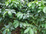 重なり合うコーヒーの枝葉111217.JPG