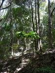林床地のコーヒー苗木