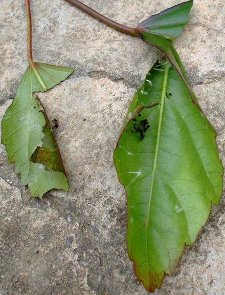 070427ワタノメイガの幼虫3-3.JPG