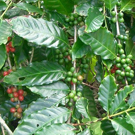 沖縄コーヒーのタ0512.jpg