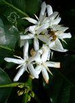 コーヒーの花とミツバチ0903.JPG
