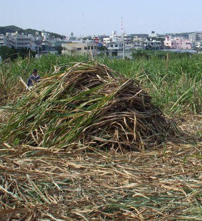 サトウキビ収穫1216.JPG