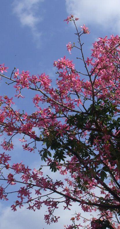 トックリキワタの花1216.JPG