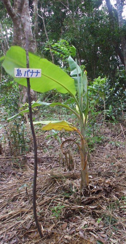 バナナ1018−1.JPG