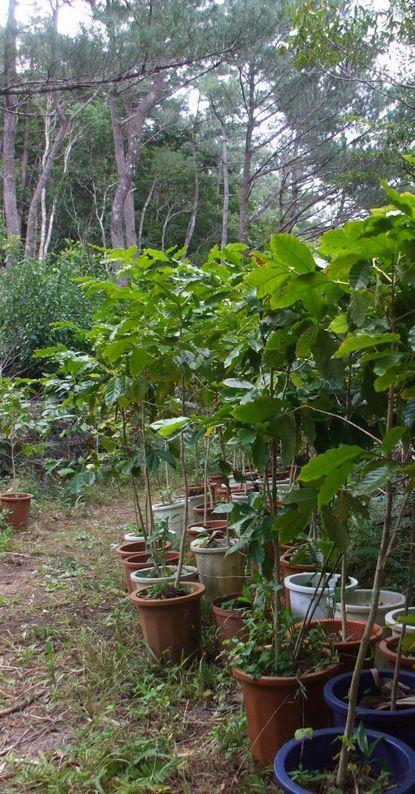 バナナロードの鉢植え苗木0110.JPG
