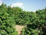 山城コーヒー農園2002−1.jpg