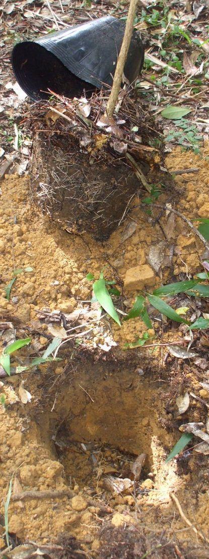苗木と移植する穴.JPG