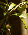 アオカナヘビ110909-6.JPG