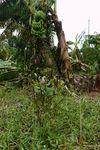 大バナナ園20120828-5.JPG