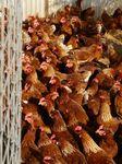 森のハーブガーデンの鶏201208.JPG